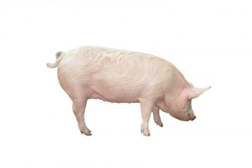 Pig Supplements, Animal Nutrition Ireland