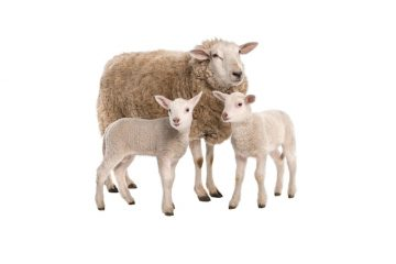 Sheep Supplements, Animal Nutrition Ireland